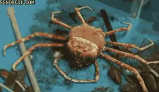 Watch and share Time Lapse Of Molting Spider Crab [gif] (i..com) GIFs on Gfycat