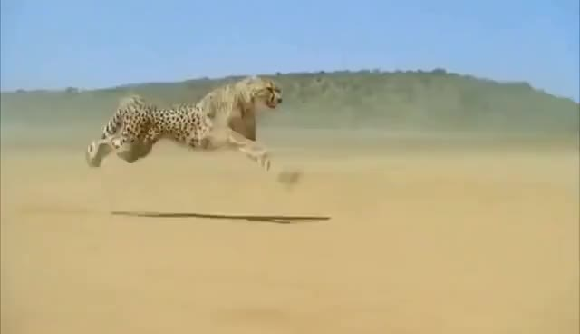 Watch and share Cheetah Running Full Speed Awesome Speed GIFs on Gfycat