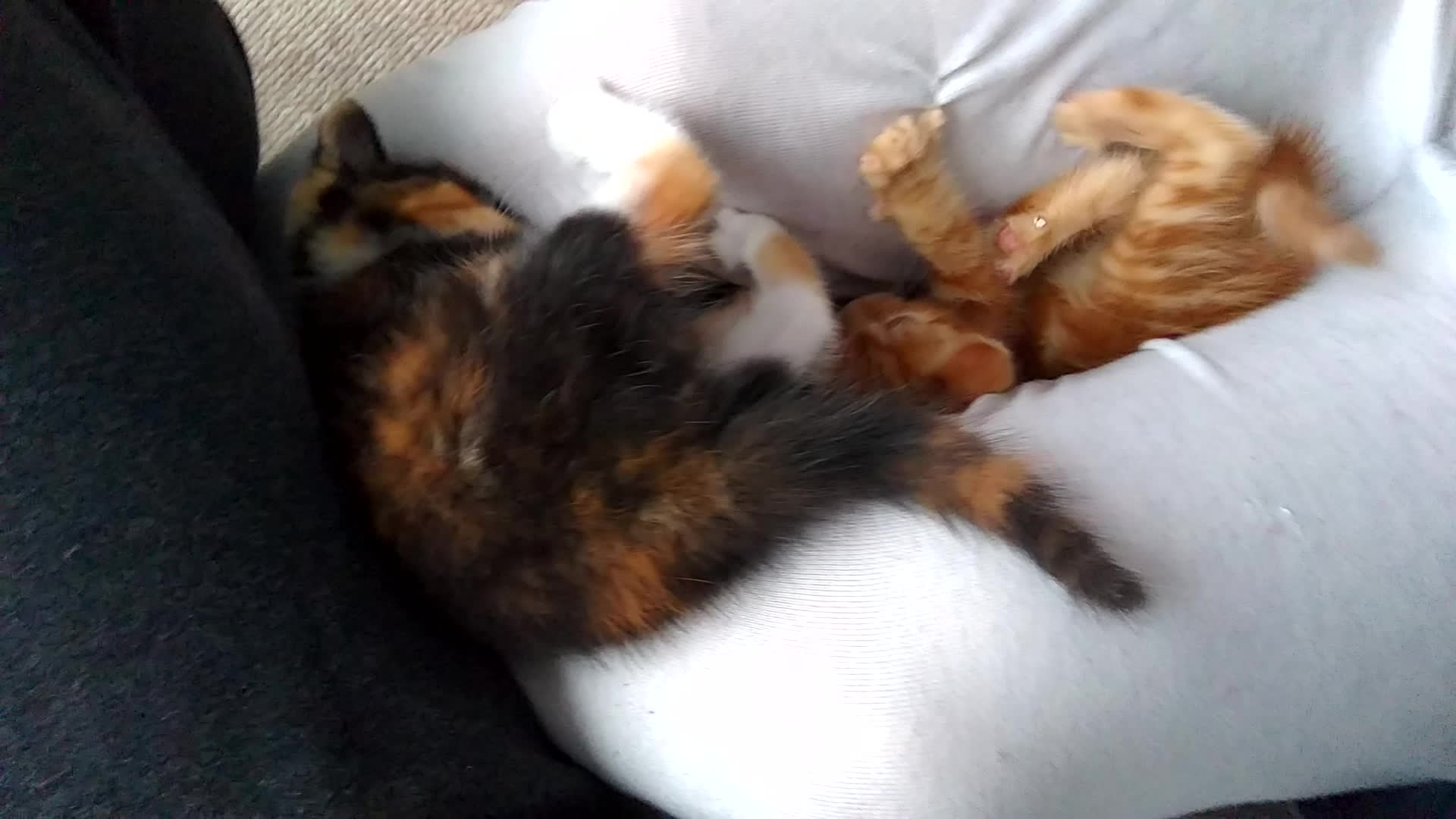kittengifs, The battle of the crotch continues GIFs