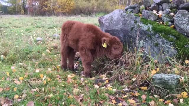 Watch and share Scottish GIFs and Calf GIFs by Highland Cattle of Saarela on Gfycat