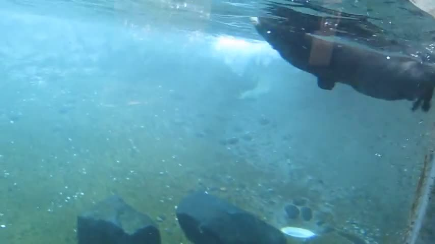 marinebiologygifs, River Otter showing it's grace and flexibility. (reddit) GIFs