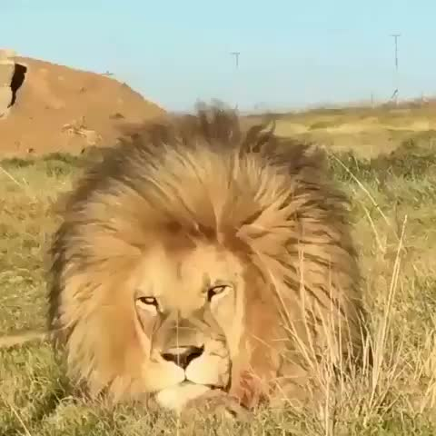 nature, Lion with a truly impressive mane enjoying a good breeze GIFs