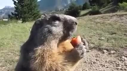Watch and share Marmotta Con Carota GIFs and Marmot With Carrot GIFs on Gfycat
