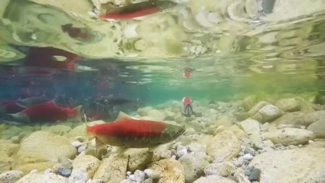 Watch and share Alaska Fishing GIFs and Sockeye Salmon GIFs on Gfycat