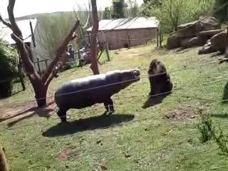 animals, hippo, hippopotamus, Hippo vs mandrill GIFs