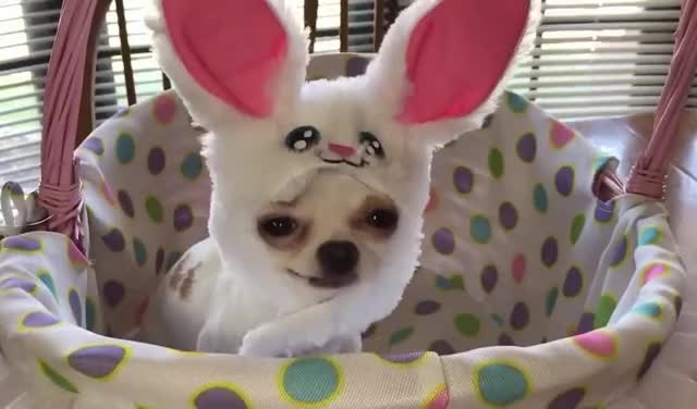 Watch this bunny GIF by GIF Queen (@ioanna) on Gfycat. Discover more animals, aw, aww, awww, bunnies, bunny, costume, cute, cutie, dog, funny, pet, puppy, rabbit, sweet GIFs on Gfycat