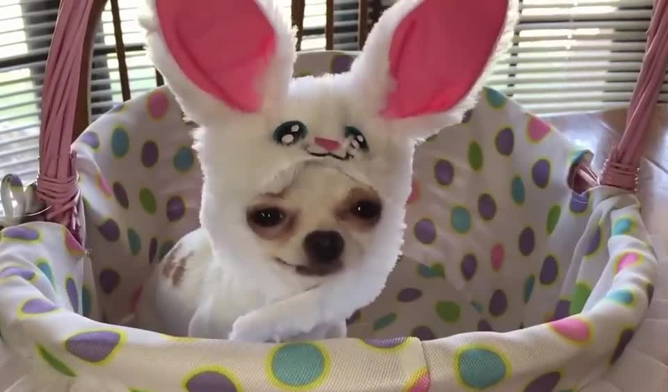 animals, aw, aww, awww, bunnies, bunny, costume, cute, cutie, dog, funny, pet, puppy, rabbit, sweet, Cute dog in costume GIFs