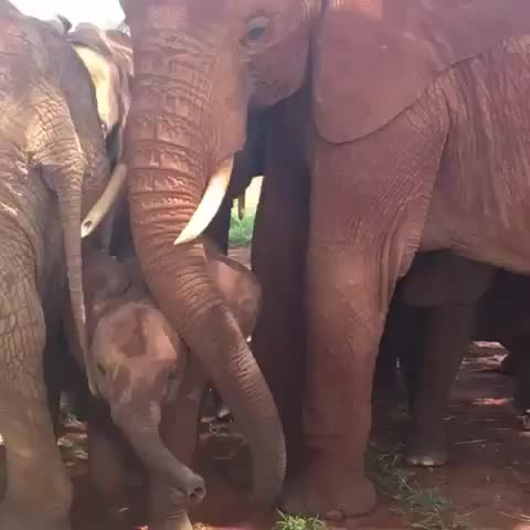 Watch and share Elephant GIFs and Family GIFs by PM_ME_STEAM_K3YS on Gfycat