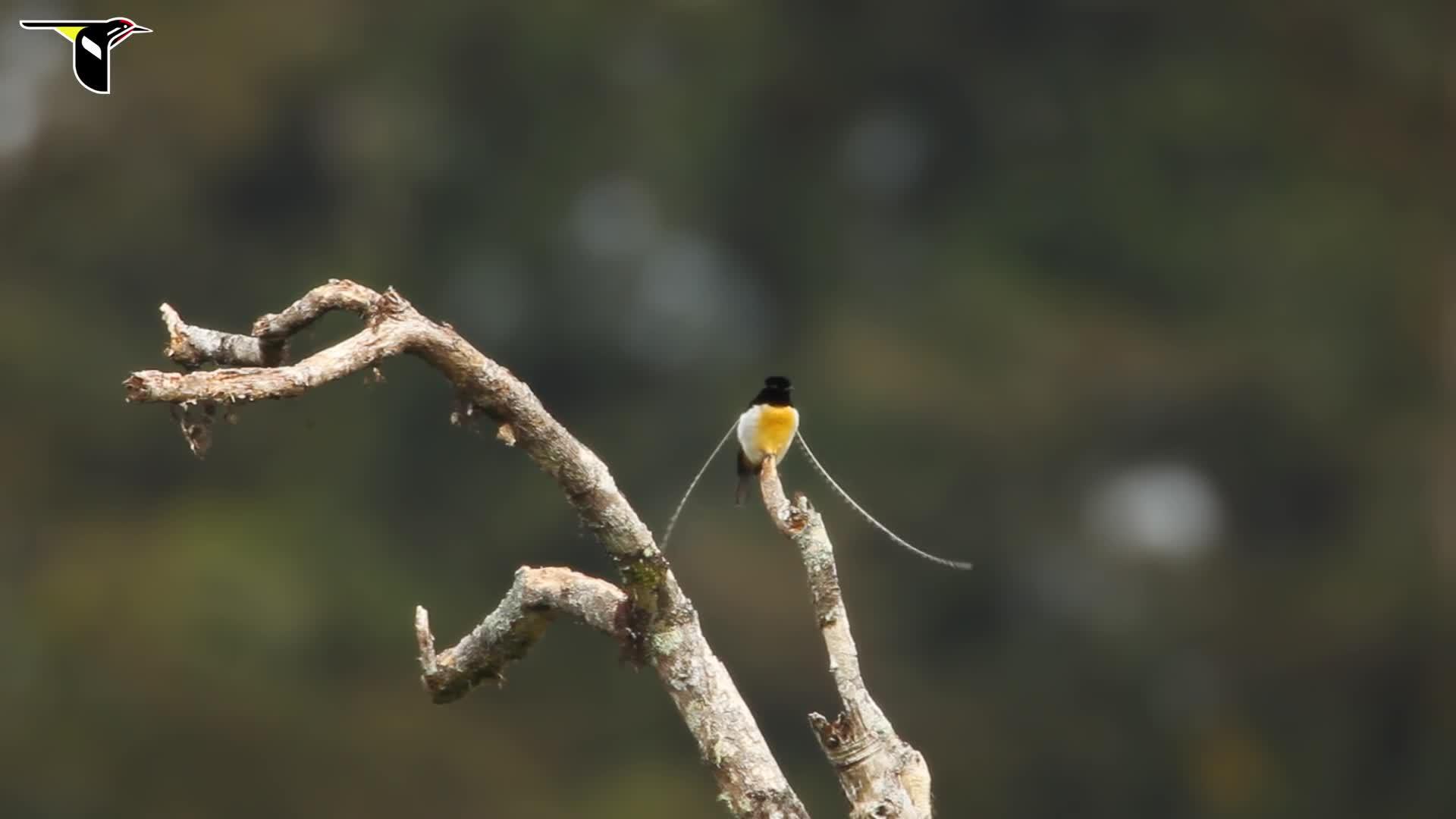 Cornell Lab of Ornithology, Indonesia, King of Saxony, Lab of Ornithology, New Guinea, bird, birds, birds of paradise, feathers, head plumes, King-of-Saxony Bird-of-Paradise GIFs