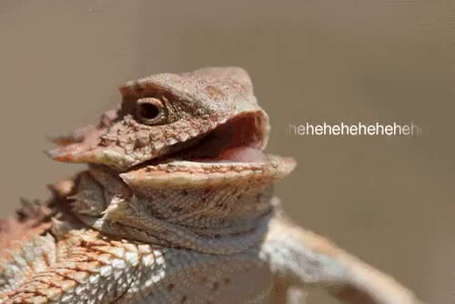 Watch this GIF on Gfycat. Discover more animal, cackling, chuckling, hehe, laughing, laughter, lizard, lol GIFs on Gfycat