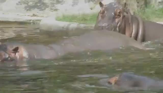 hippo, hippopotamus, HIPPO MATING              HD 1080P GIFs