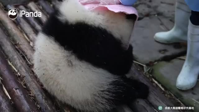 Watch and share Funny Animal Video GIFs and Funny Panda Video GIFs by iPanda on Gfycat