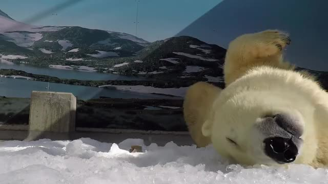 Watch Polar Bear Cub Graduates to 'Cub Kindy' GIF by Slim Jones (@slimjones123) on Gfycat. Discover more dramatic, news, viral GIFs on Gfycat
