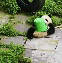 Watch and share Panda GIFs and Lazy GIFs by Reactions on Gfycat