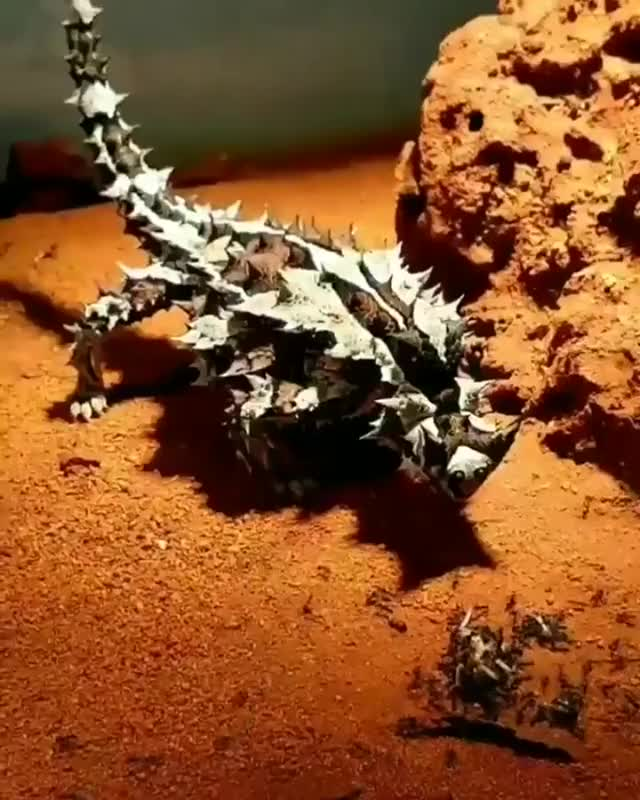 Watch and share Australian Thorny Devil, Eating Some Ants GIFs by likkaon on Gfycat