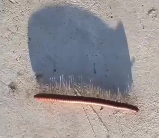 Watch and share Afternoon Shadow Of A Millipede GIFs by bsurfn2day on Gfycat