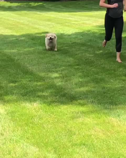 Watch and share Cutepuppies GIFs and Retriever GIFs by notmyproblem on Gfycat
