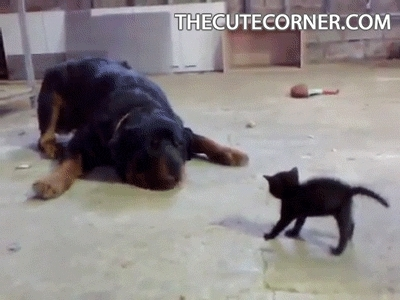 animals, animals gif, animalsgif, aww, cat, cat gif, catgif, cats, catsgif, cute, cute animals gif, cute pics, cuteanimalsgif, cutepics, dog, dog gif, dog gifs, doggif, dogs, dogsgif, kitten, kitten gif, kitten gifs, kittengif, kittens, kittensgif, own, socute, the cute corner, thecutecorner, Dog versus Kitten GIFs