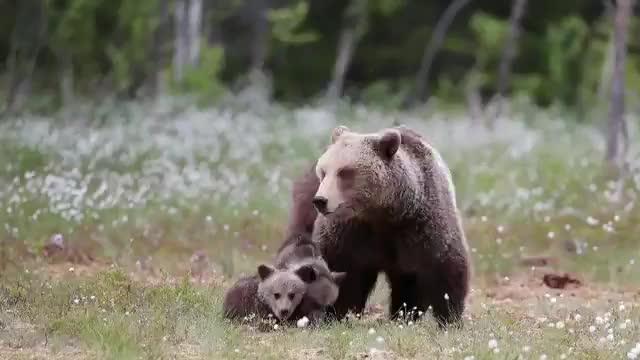 Ridiculously cute bear cubs GIFs