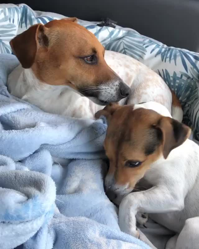Watch and share Jackrussell GIFs and Terrierlove GIFs by inna1lakhina on Gfycat
