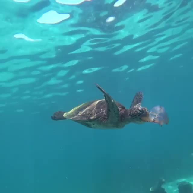 Watch and share Sea Turtle Snacking On A Jellyfish GIFs by Pardusco on Gfycat