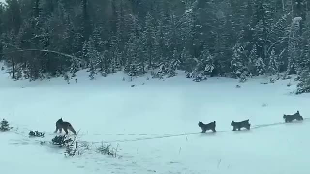 Watch and share Lynx And Cubs Cubs GIFs by jiffs.gifs on Gfycat