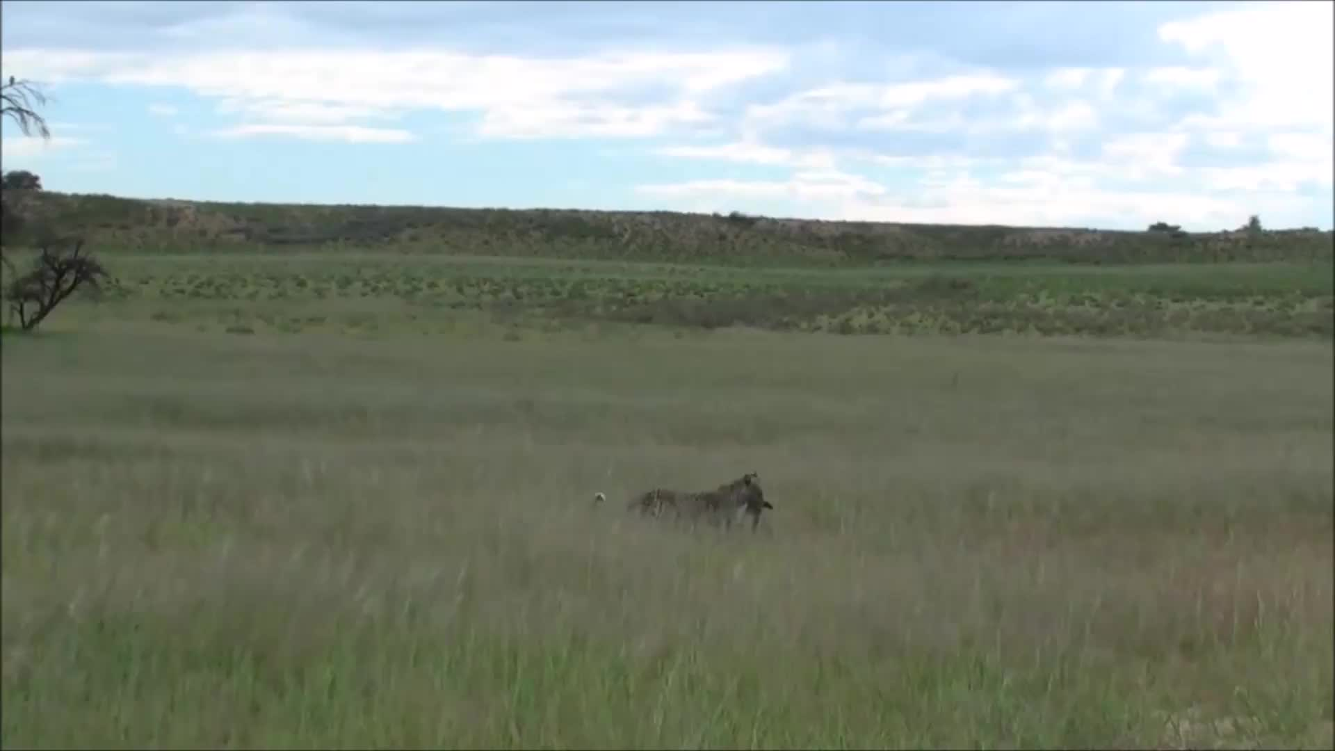 Bat-eared Fox nearly escapes the clutches of a Leopard GIFs