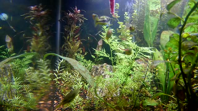 Watch and share Pea Puffer Group Feeding GIFs on Gfycat