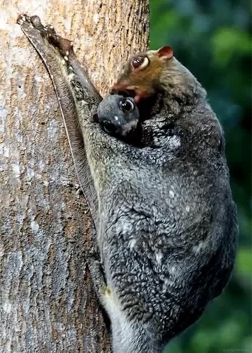 naturegifs, Licking baby lemur GIFs
