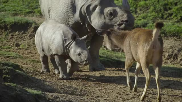 Watch this animals GIF by @likkaon on Gfycat. Discover more animals, nature, rhino, rhinoceros, wildlife GIFs on Gfycat