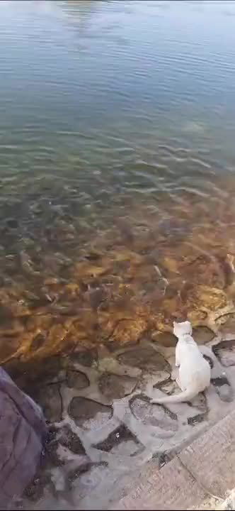 Human helps stray cats get fish