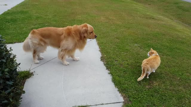 Watch Golden Retriever is scared of neighborhood cat GIF on Gfycat. Discover more Golden Retriever, Oshie the Golden, adorable dogs, bark box, cat, dogs, dogs and cats, dogs vs cats, family friendly, funny, funny dogs, golden, golden retriever videos, golden retrievers, oshiesworld, pets, scared, scared of cats, timid, vlogs GIFs on Gfycat