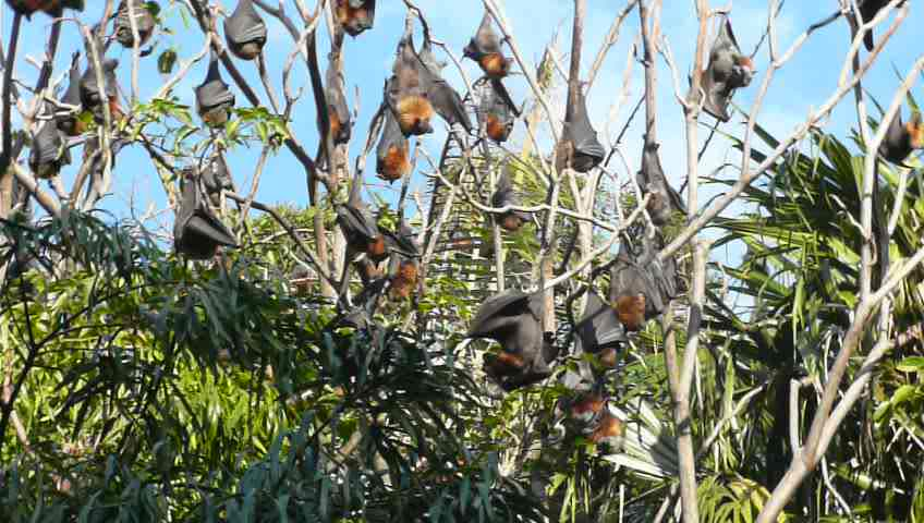 Flying Foxes (Bats) GIFs