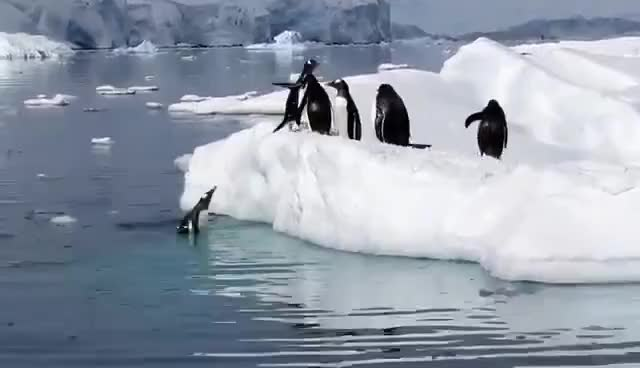 Watch this penguin GIF on Gfycat. Discover more Penguin, animal, bird, cute, penguin, penguins, waddle GIFs on Gfycat