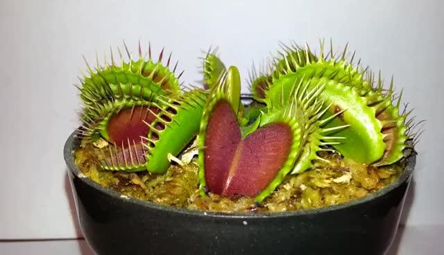 Watch and share Dionaea Muscipula Cazando, GIFs on Gfycat