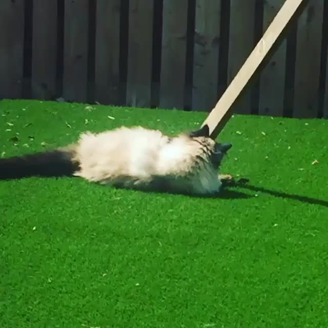Watch and share From Esme_the_ragdoll GIFs by cakejerry on Gfycat