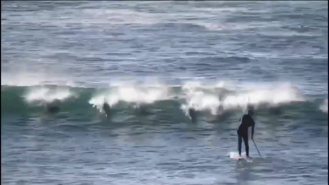 all tags, bretthardy, dangerous, dolphin, dolphinattack, dolphins, dolphintackle, dolphintacklessurfer, funny, gracetown, ouch, soundfx, sup, surf, surfing, westernaustralia, Dolphin Tackle GIFs