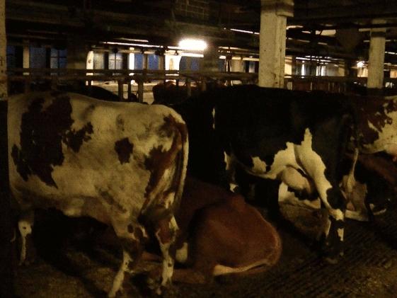 Rader med fastbundna, stående kor och en liggande ko med kedja om halsen