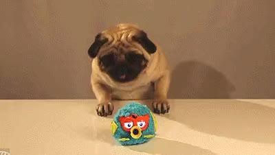 Relentless little pug : aww GIFs