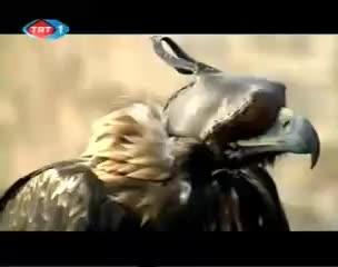 Lynx, Rabbit, Rat, africa, asian, bats, big, bull, carp, eagle, fight, harpy, height, hippo, india, lion, polar, rottweiler, wels, zebra, Golden eagle vs wolves, golden eagle killing more grey wolves. GIFs