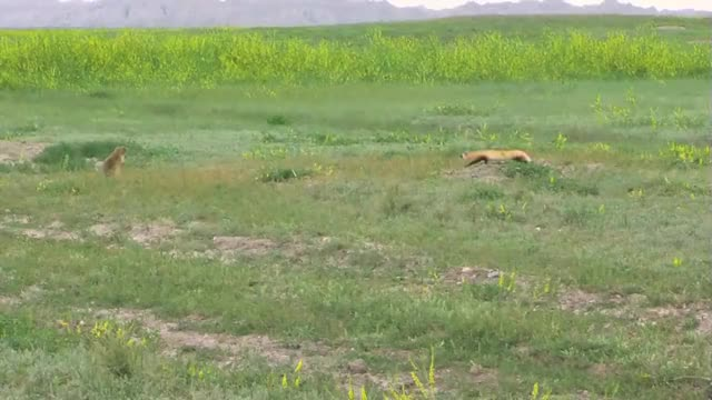Watch Prairie Dog chasing off a Black-footed Ferret GIF by Pardusco (@pardusco) on Gfycat. Discover more nature GIFs on Gfycat