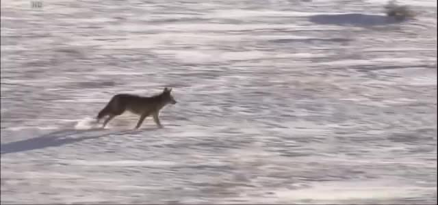 Watch and share Yellowstone GIFs and Coyotes GIFs on Gfycat