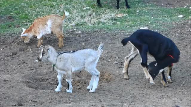 Watch Lil Tippy Tap GIF by KNS Farm (@knsfarm) on Gfycat. Discover more baby goat, cute, funny, goat, knsfarm, tippytaps GIFs on Gfycat