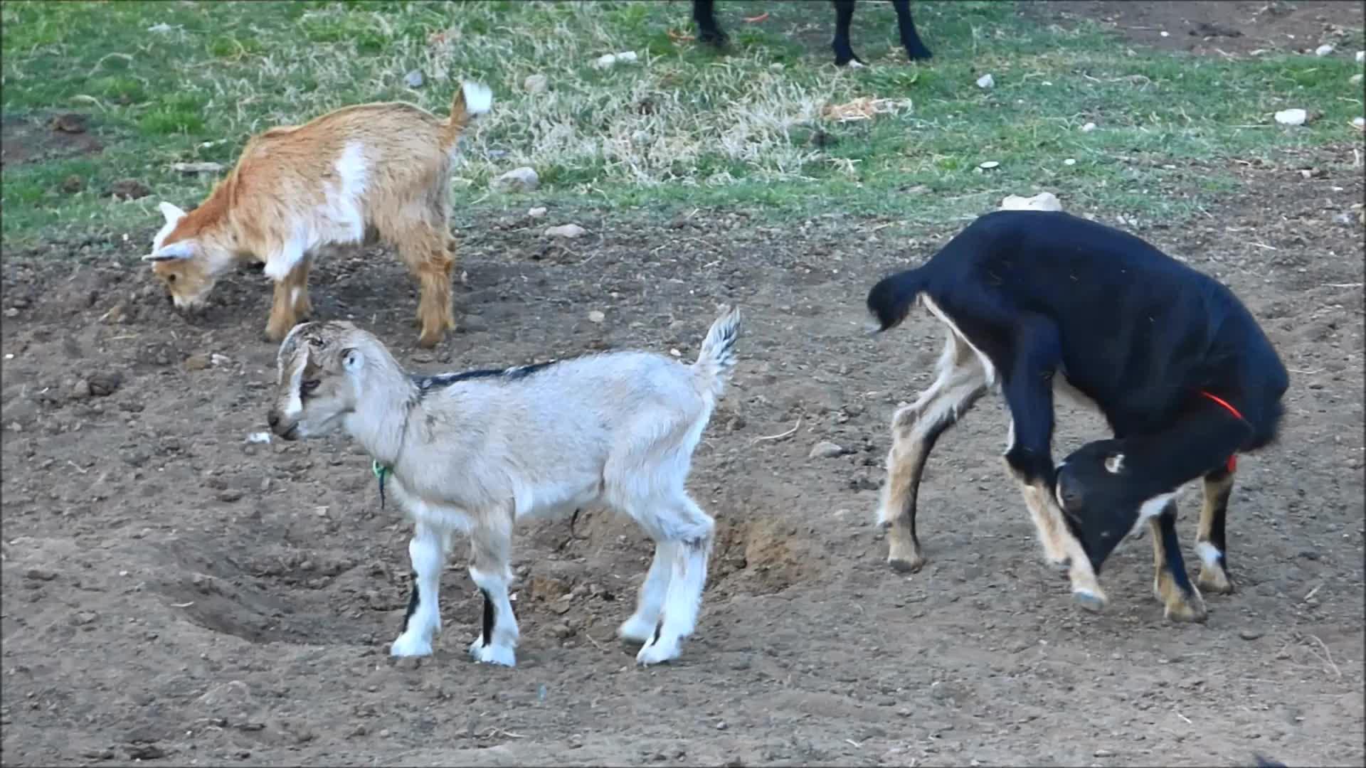 baby goat, cute, funny, goat, knsfarm, tippytaps, Lil Tippy Tap GIFs