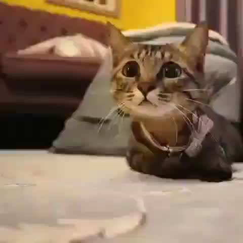Watch and share Cat Is Cutest Predator Ever GIFs by Boojibs on Gfycat