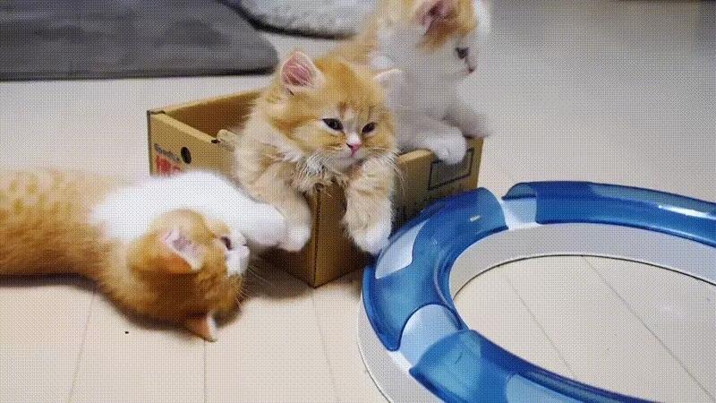 awwducational, babybigcatgifs, Meow GIFs
