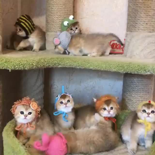 Purrtacular, cat, cats, kitten, kittens, 🐭🐰🐻🦊🦁🐸🐒🦈 Join our group: Purrtacular GIFs