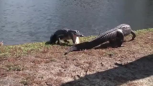 Watch and share Gator Fight GIFs on Gfycat