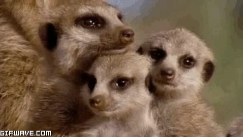 Watch and share Meerkats Falling Asleep GIFs on Gfycat