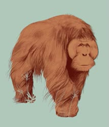 Watch Male orangutan GIF on Gfycat. Discover more related GIFs on Gfycat